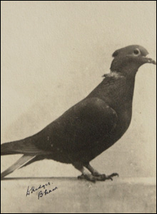 Pigeon Mary of Exeter. Picture courtesy of PDSA