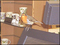 The robin in the shop
