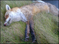 Dead fox found on Orkney