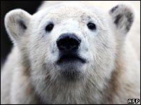 File photograph of Knut the polar bear