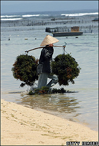 Worker carrying baskets of seaweed (Getty Images)