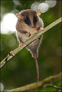 opossum pigmeu
