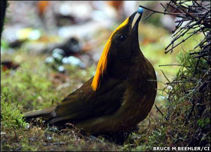 Male Bowebird