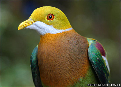 Ornate Fruit-Dove