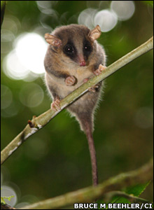 Pygmy possum