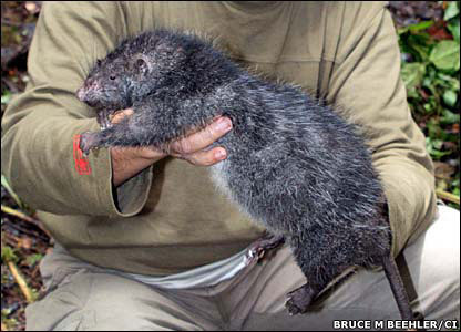 Giant rat 