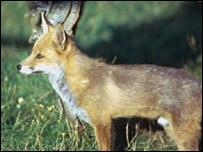 Red fox, BBC