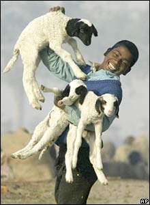 An Indian shepherd boy plays with lambs in Allahabad