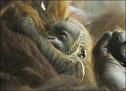A baby Orang-utan at a zoo in Zurich
