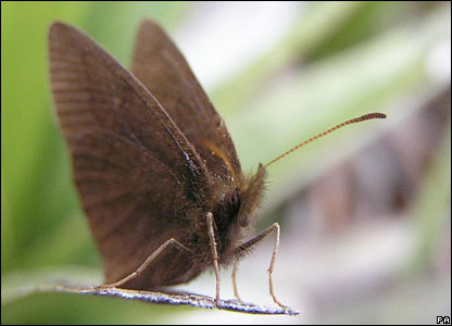 A newly-discovered butterfly