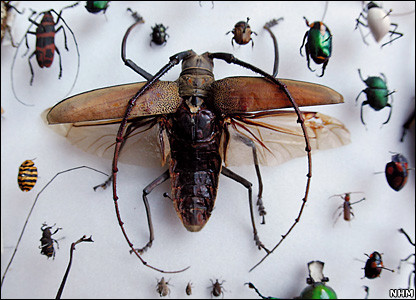 Long-horn beetle (NHM)