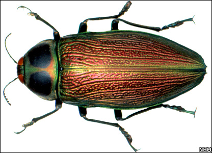 Jewel beetle (NHM)
