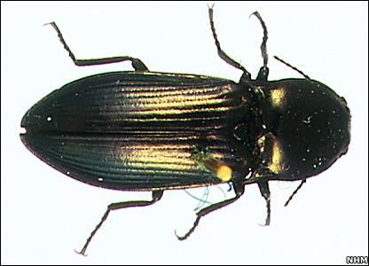 Click beetle (NHM)