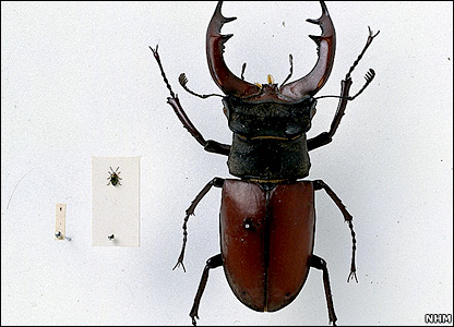 Smallest and largest British beetles