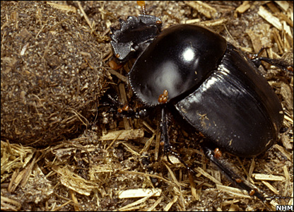 Dung beetle (NHM)