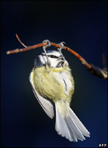 Blue tit in Farnborough