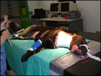 Procedure being carried out on Harvey, a one-year-old Labrador Retriever