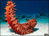 Sea cucumber