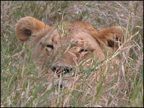 Lion in long grass