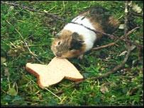 Squeak the guinea pig
