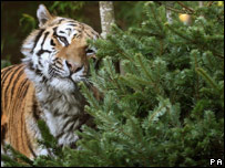 Yuri the tiger with his pine tree