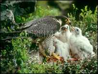A female peregrine feeding her chicks, picture courtesy of RSPB
