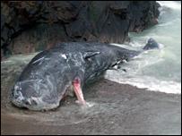 Dead sperm whale (Pic by Comhairle nan Eilean Siar)