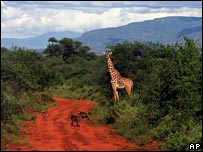 A giraffe in Kenya's Tsavo West National Park