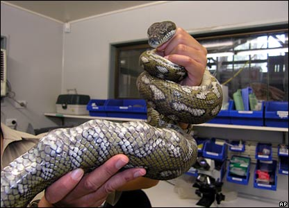 A vet at the Currumbin Wildlife Sanctuary holds up the golf ball-filled carpet python