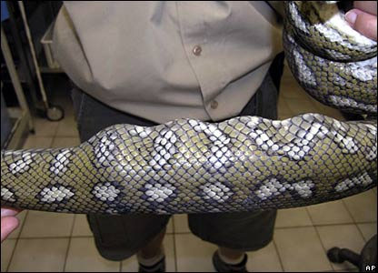 The golf balls are clearly visible in the stomach of the snake
