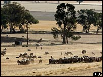 Sheep graze in a dry paddock in New South Wales, Australia