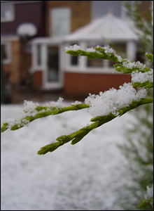 Branch covered in snow. Picture by Tim Emerton 