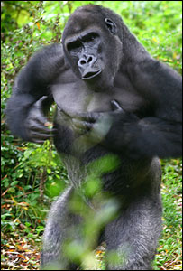 Dansi the Western gorilla: Picture Paignton Zoo