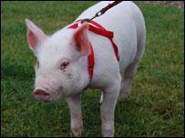 Andrex the piglet