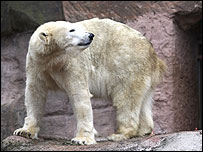 Polar bear Vera at Nuremberg Zoo