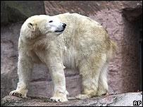 Полярная медведица Вера в зоопарке Нюрнберга