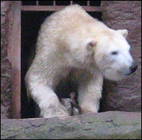 Polar bear Vera with cub at Nuremberg Zoo