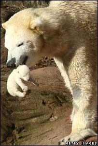 Polar bear Vera and cub, 8 January 2008