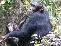 A mother and baby chimpanzee