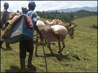 Man driving cattle in rural Kenya