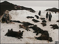 An Afghan nomad southwest of Kabul on Wednesday 9 January 2008 points to his dead animals after they were killed by cold