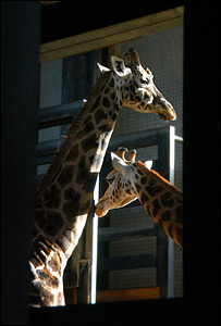 Two giraffes standing in the sunshine that spills into their house at London Zoo