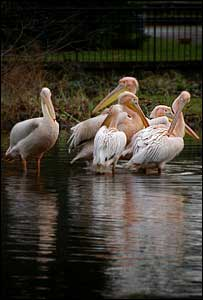 A group of Eastern White Pelicans  - Pelecanus onorotalus
