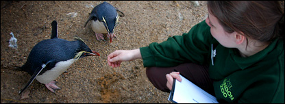 London zoo keeper interacts with two Rock Hopper penguins