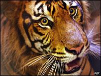 Sumatran tiger, file image