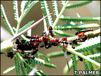 Acacia thorn with ants (T.Palmer)