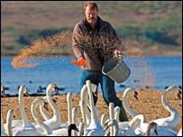 Swan herder