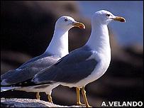 Yellow-legged gulls (Image: Alberto Velando)