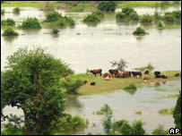 Cattle wade in flood waters in Mutarara, Mozambique