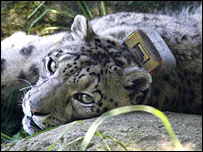 Collared snow leopard at Woodland Park Zoo (Image: Woodland Park Zoo/Dennis Dow)